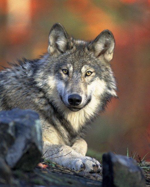 Farkas - Családi kutyasuli - Pécs